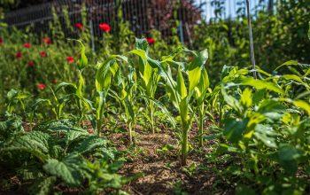 Diserbanti e prodotti naturali per la cura dell'orto: quali scegliere